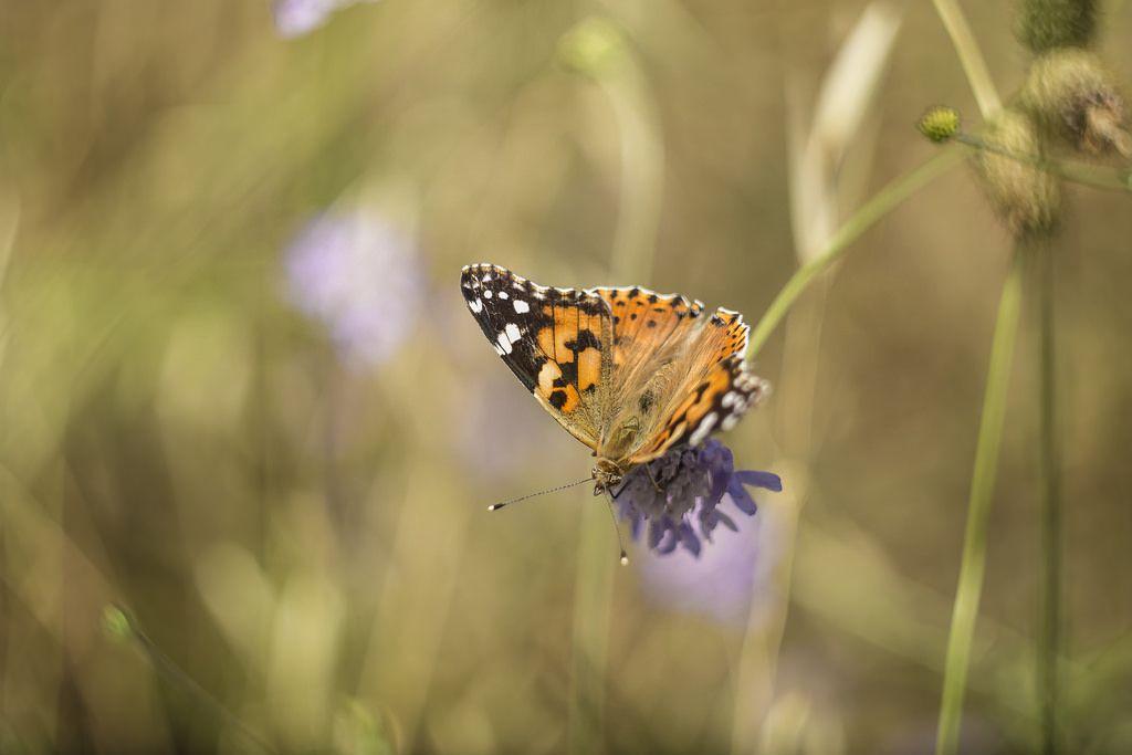 Painted Lady | Vanessa cardui | Nymphalidae