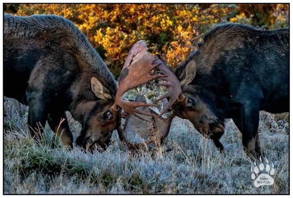 Moose Fight Bull Moose Photography Print Moose Fine Art Etsy Bull Moose Moose Wall Art Photography Print