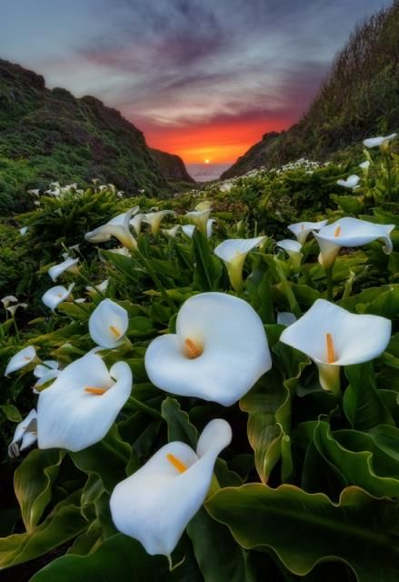 Calla lily in sunset  Big Sur, California, USA  by Javier Acosta  https://www.facebook.com/144196109068278/photos/pb.144196109068278.-2207520000.1419025257./181120805375808/?type=3&theater