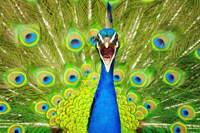 Tavus Kuşu Nedir Doğa Color Schemes Paint Colors Ve Peacock Colors