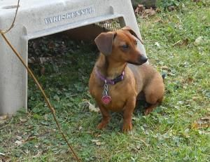 Adopt Gazelle On Adopt A Hound Adoptable Dachshund