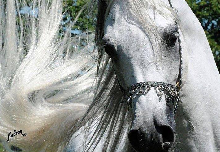 لعشاق الخيول العربية أجمل مجموعة من الصور للخيول العربية الاصيلة عالية الجودة Hd Pretty Horses Horses Horse Face