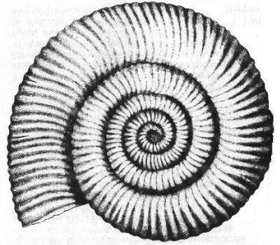 Hi 322 Fossils Trilobite Tattoo Shell Drawing Disney Tattoos