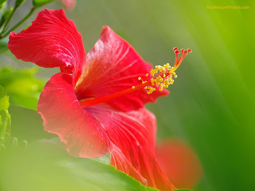 Wallpapers Flowers Hibiscus