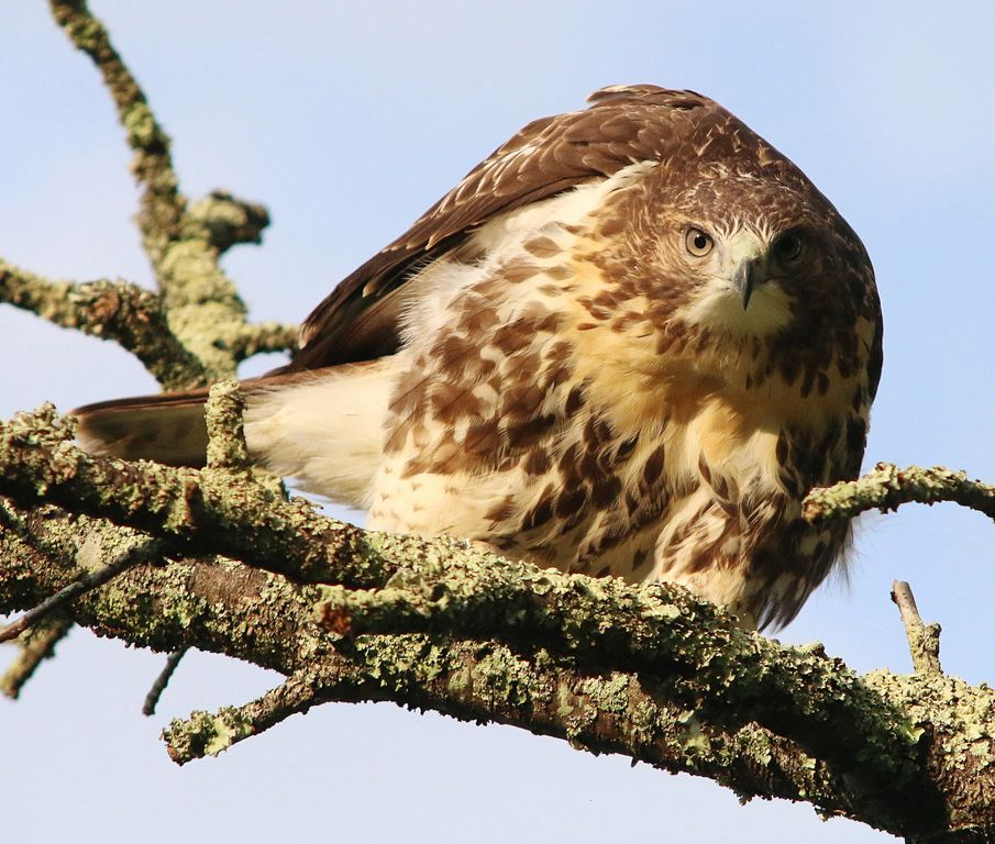 """""""Bo the Red-tailed Hawk by Rob Moore"""" captures a glimpse of wildlife visible in the Southern Appalachians."""