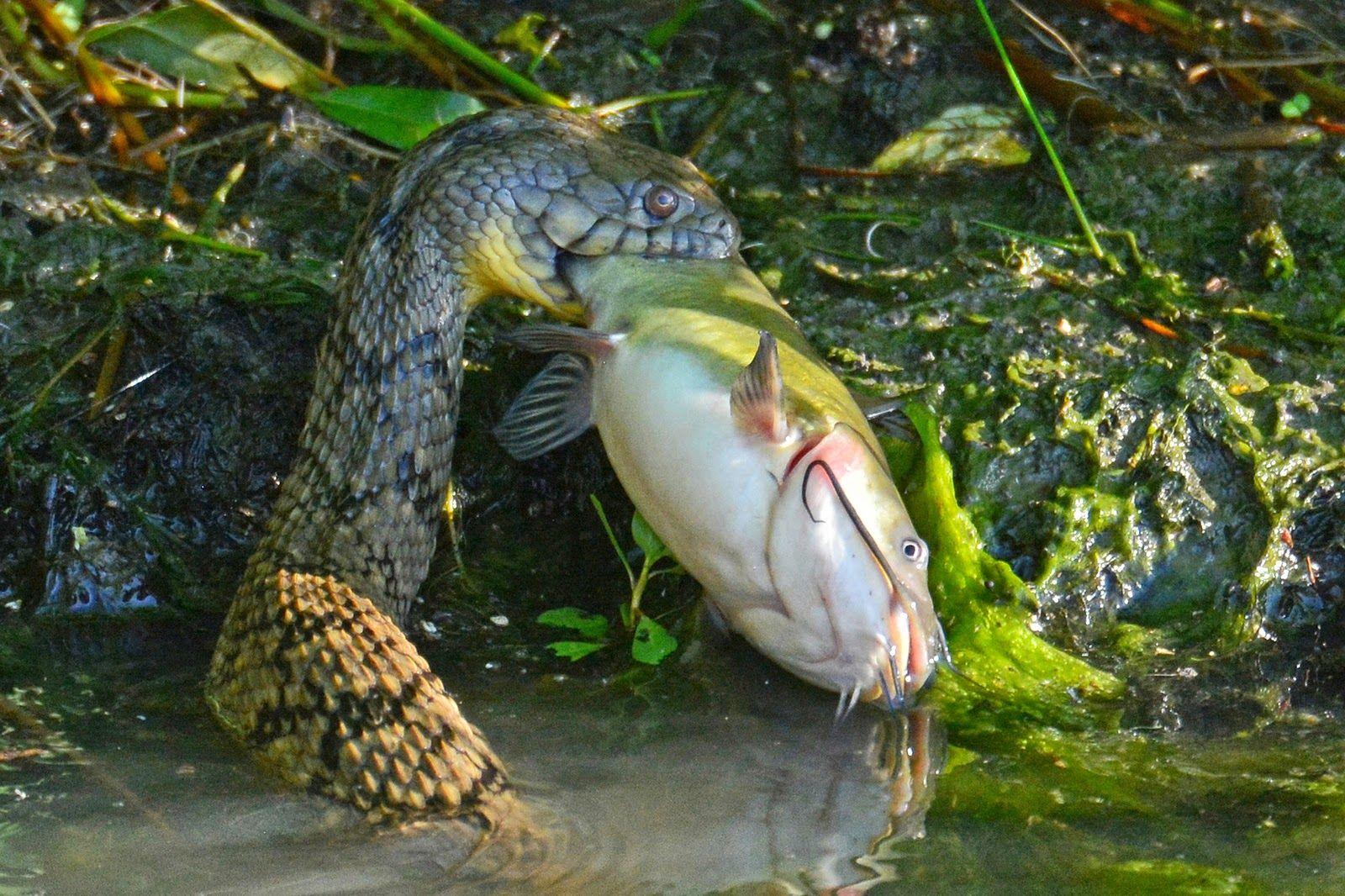 A-bullhead-catfish-caught-by-a-diamondback-water-snake..
