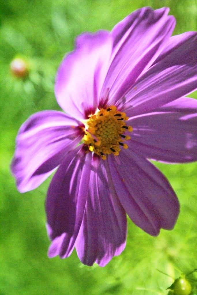 The translucent petals of a vibrant Cosmos bloom (photo: Dave Melnychuk)