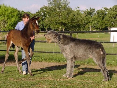 Irish Wolfhound - this is the dog I want