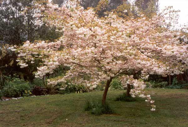Septic Tank Garden Tree Cherry Tree Cherry Blossom Tree