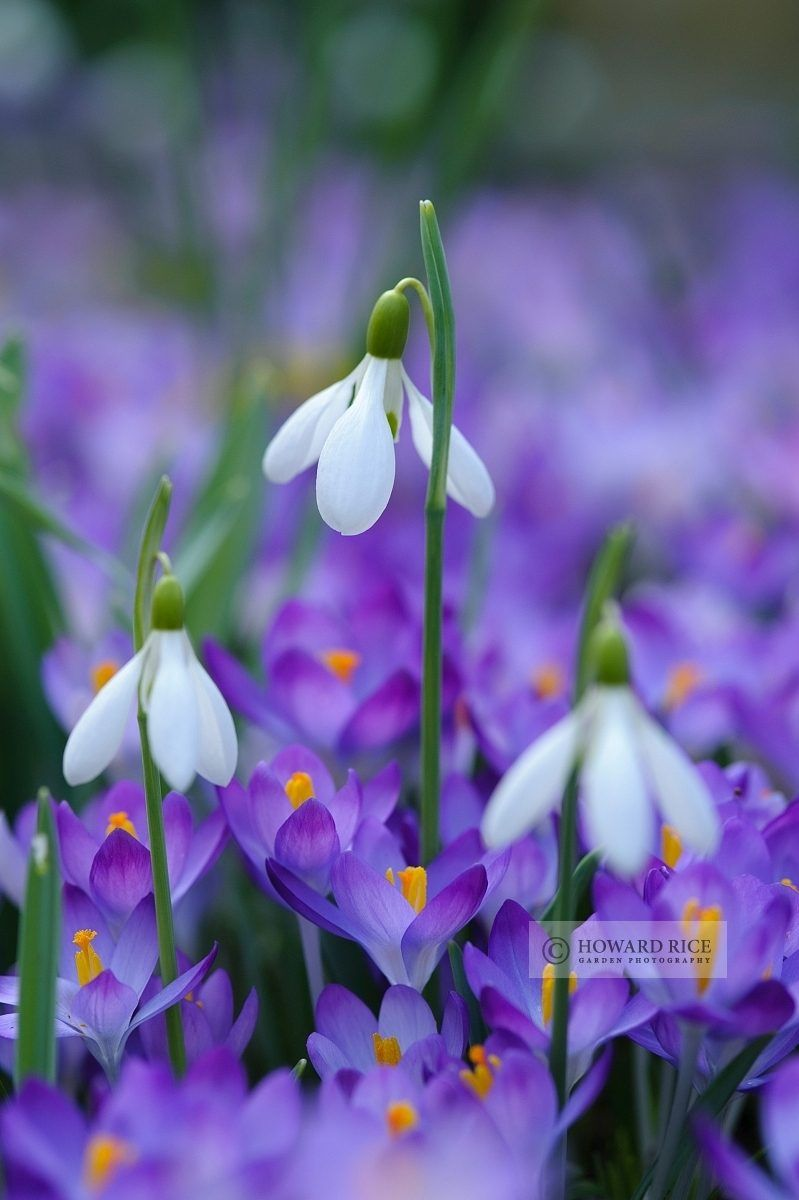 Spring Flowers Snowdrops And Crocuses Photo Howard Rice Flower