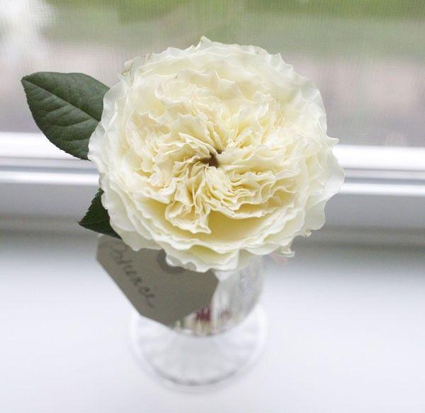 flirty fleurs rose study with david austin garden roses patience - White Patience Garden Rose
