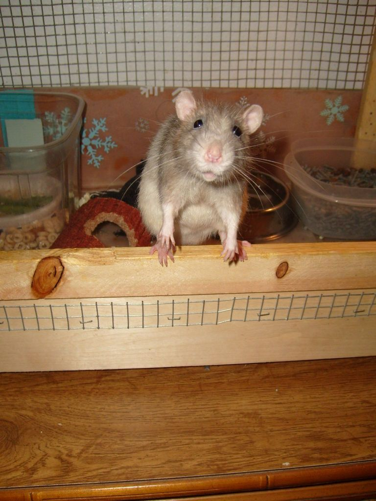 How To Pet Rats Pet rats, Rats, Baby rats