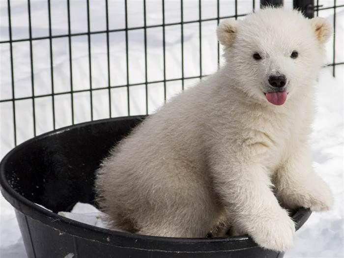 Kali, the orphaned Polar Bear plays in a rubber tub