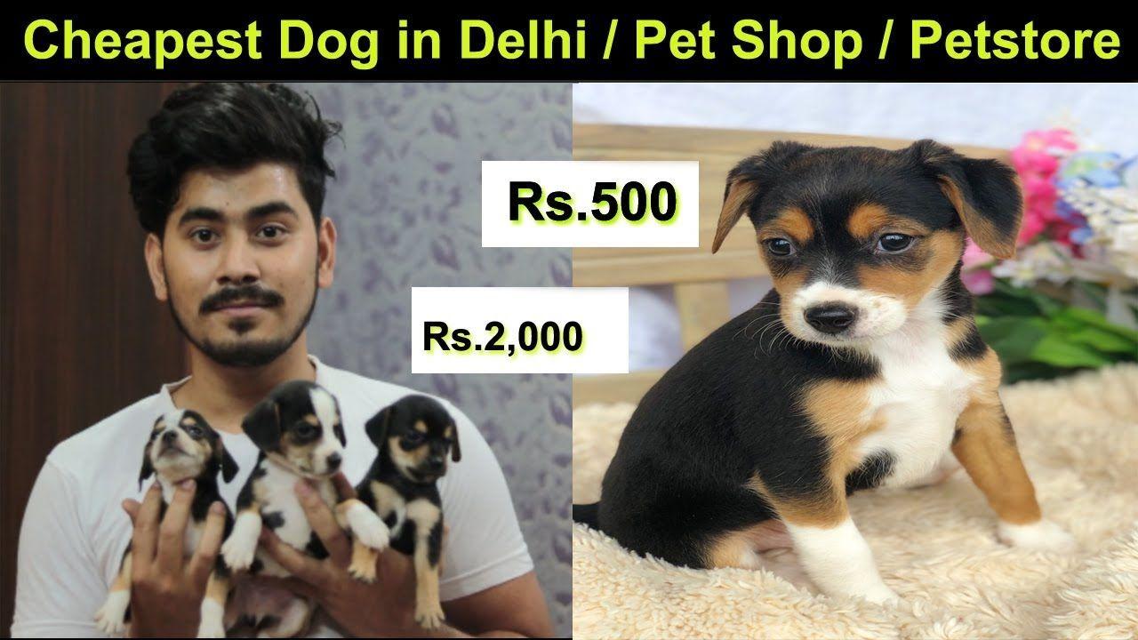 Cheagle Puppies Sale Cheapest Dog Market In In Delhi
