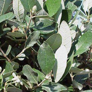 Acca sellowiana nombre popular guayaba del brasil for Lista de arboles frutales de hoja perenne