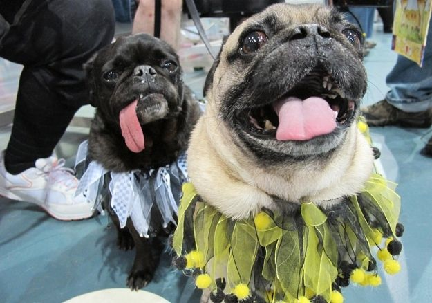 Holy Cow That Tongue Is Incredible Pugs Pets Pug Love