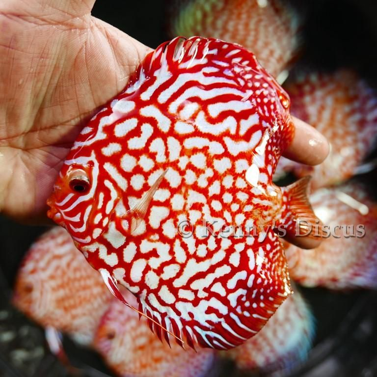 Preview Oct 2018 Forrest Shipment Price List Included Discus Fish Forrest Freshwater Aquarium