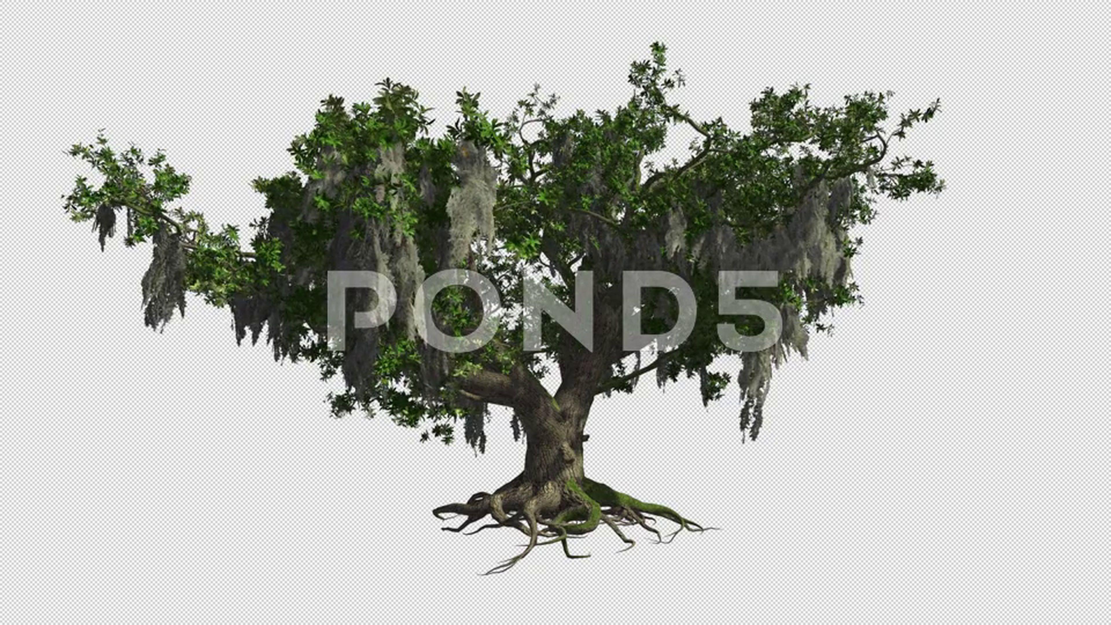 A Huge Live Oak Sway In The Wind Png With Alpha Channel Stock Footage Sway Wind Oak Huge Live Oak Oak Wind