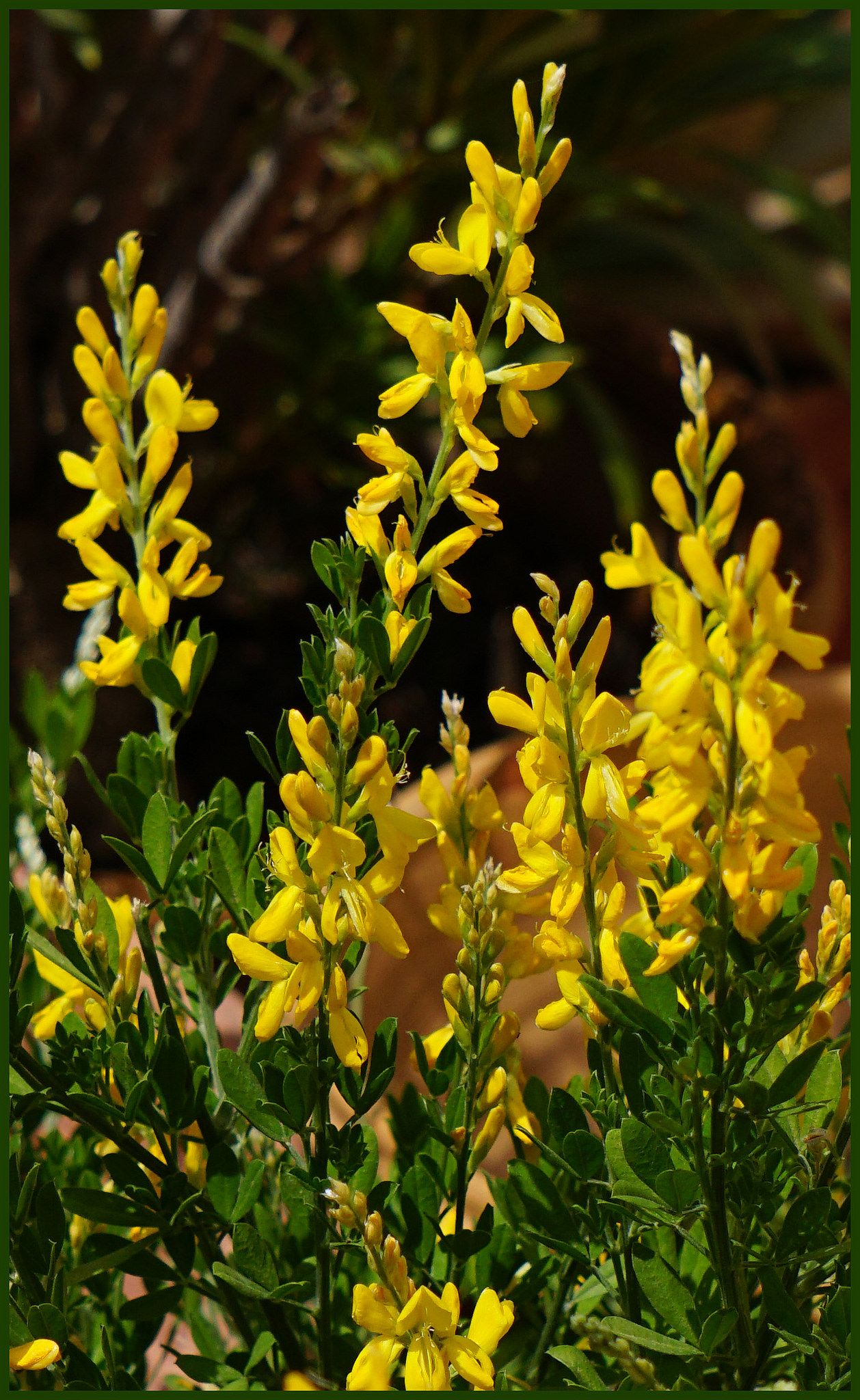 Broom Bush In Bloom Usual For Rocky Slopes Here In Wales Nature Flowers Flowering Shrub Wild Wildfl Plants Garden Inspiration Beautiful Flowers