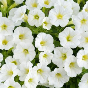 Potted Littletunia Petunia Plants For Sale In 2020 Petunia Plant Petunias Plants