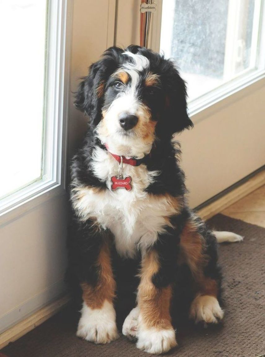 What A Beautiful Pup It S A Bernedoodle That S A Bernese Mountain Dog And Poodle Mix With Images Bernedoodle Dogs Mountain Dogs