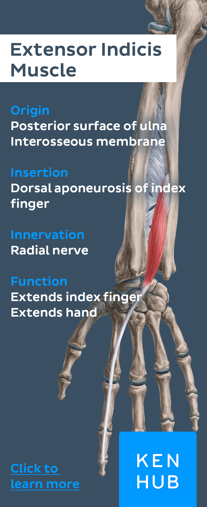 Deep extensors of the forearm | Human anatomy, Anatomy and Finger