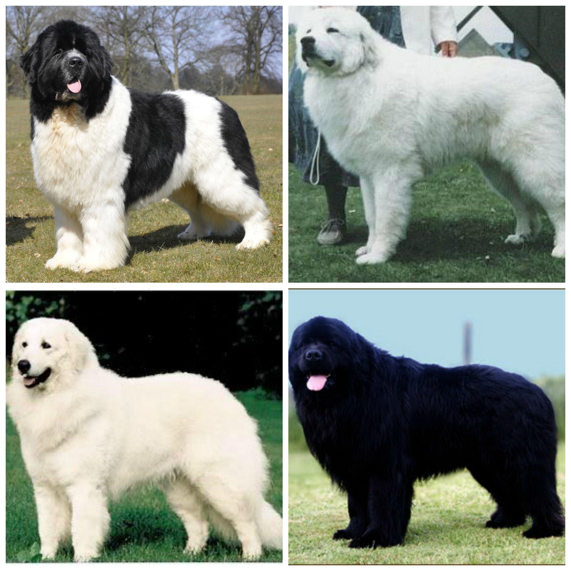 Which Big Fluffy Dog Do I Want Landseer Great Pyrenees Kuvasz