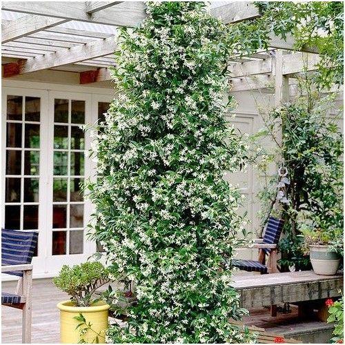 http\/\/wwwclematisonlinede\/immergruene-kletterpflanzen-kaufen - gartenpflanzen winterhart immergrun