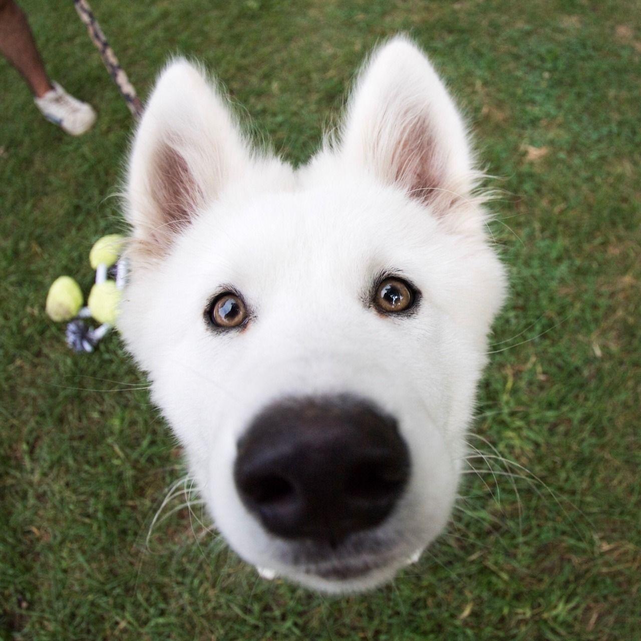 Samoyed Puppies For Sale Toronto Ideas