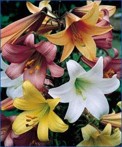 The Chinese Trumpet Lily Mixture Hardy Lilies Flower Bulb Index