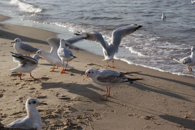 Seagul Baltic sea Gdańsk Poland