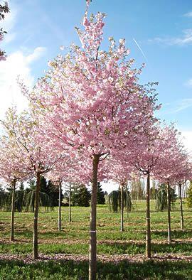 Prunus Accolade S 246 K P 229 Google Tr 228 Dg 229 Rd Garden Trees