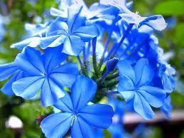 blue phlox; perennial flower