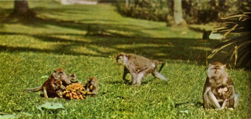 Monkeys In The Botanic Gardens Singapore They Were Vicious Food Animals Pets Botanical