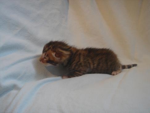 Tiny Toyger Kitten Toyger Kitten Kittens Tonkinese