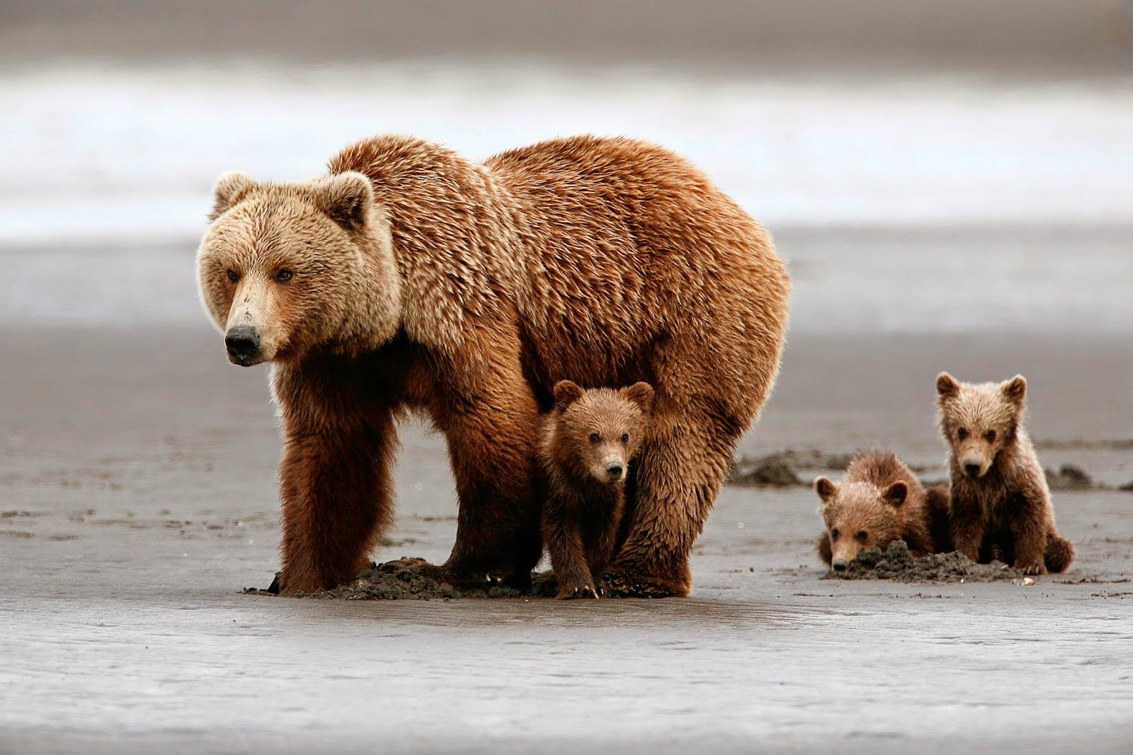 Beautiful family of bear mother and three cute cubs mothers of all beautiful family of bear mother and three cute cubs voltagebd Images