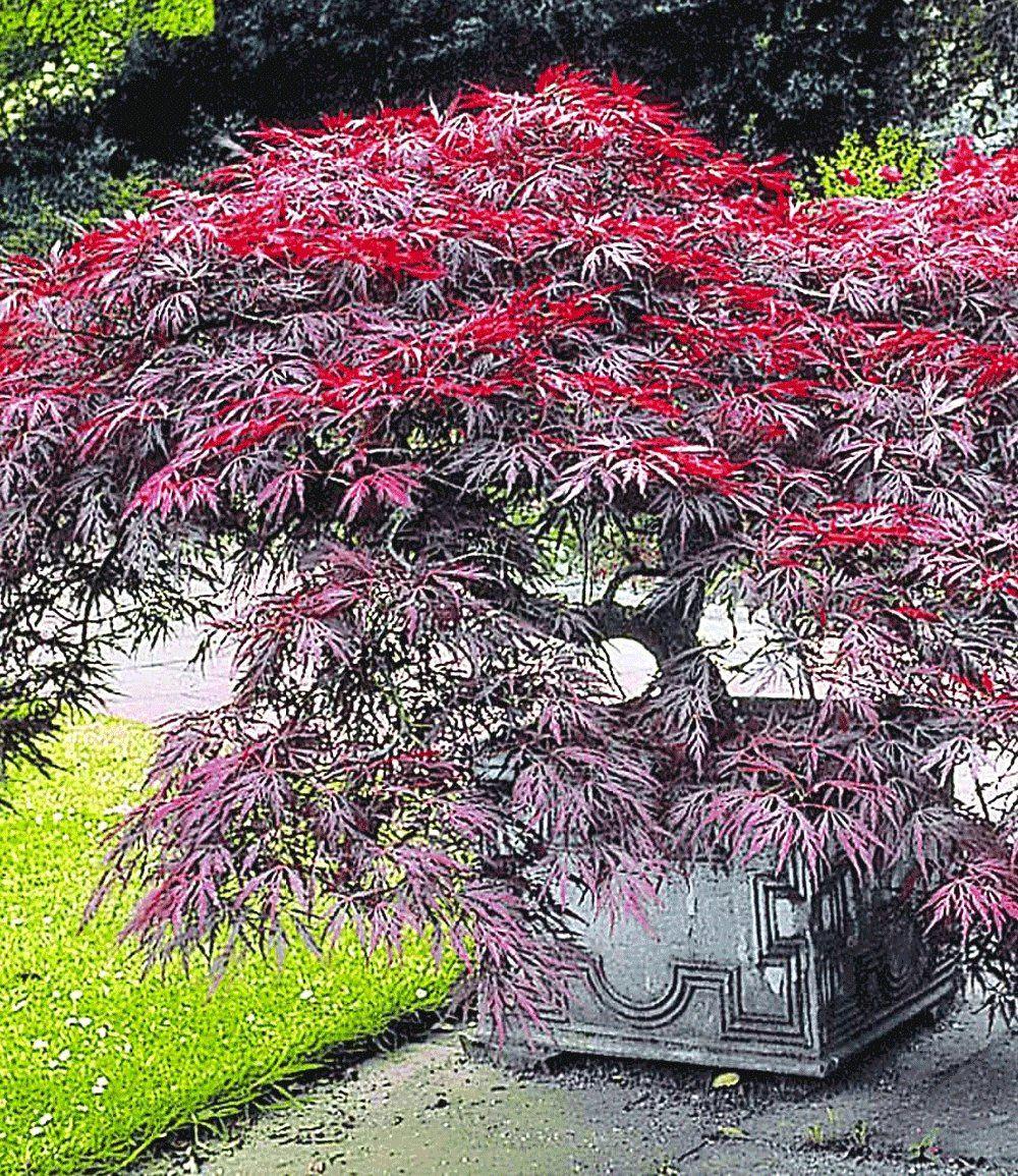 japanischer ahorn 39 burgund 39 gardens and flowers pinterest japanische g rten und englische. Black Bedroom Furniture Sets. Home Design Ideas