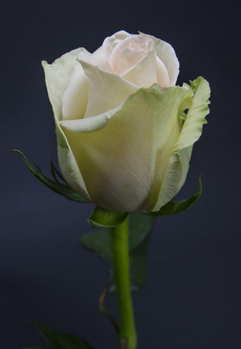 yand ate i tarif edebilen yeterince pi memi tir der mevl n rosen pinterest rosen. Black Bedroom Furniture Sets. Home Design Ideas