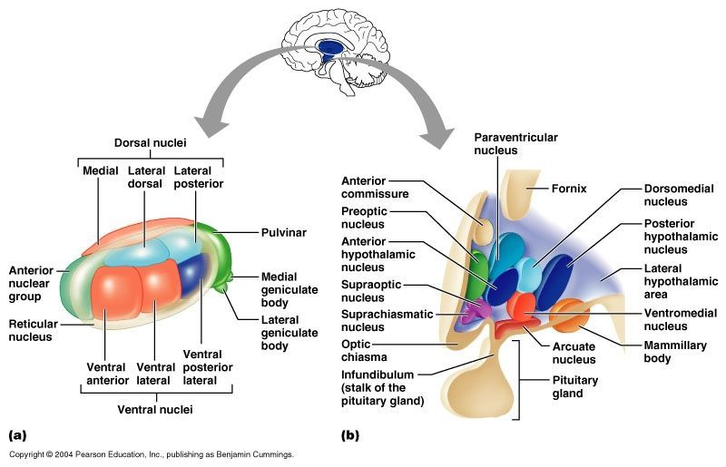 Image result for hypothalamus nuclei | Medical knowledge ...