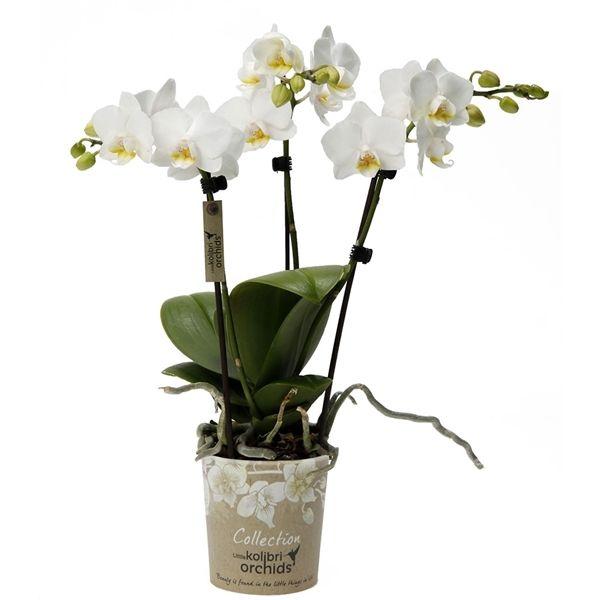 Little kolibri orchid 3tak sweden (13000SWE) - FloraXchange
