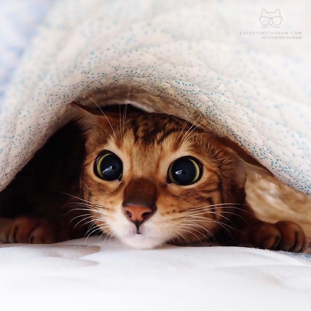 """From @bengal_pyu: """"She likes playing hide-and-seek. and I could catch her under the blanket. So she was embarrassed """" #catsofinstagram by cats_of_instagram"""
