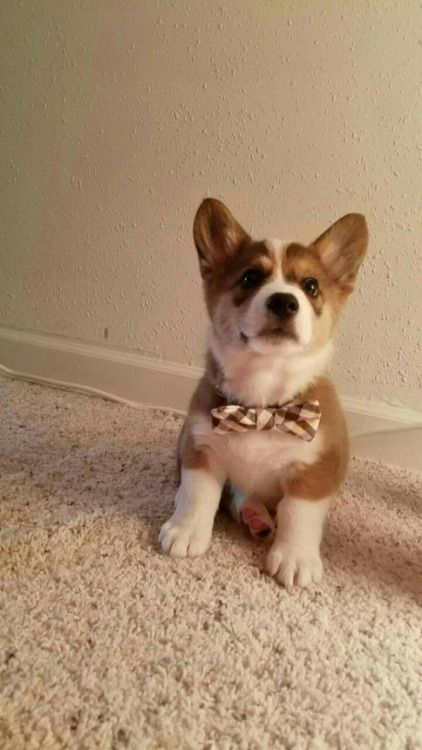 My 10 Weeks Old Half Cardigan Half Pembroke Puppy His Name Is Kujo Obsessive Corgi Disorder Corgi Puppies