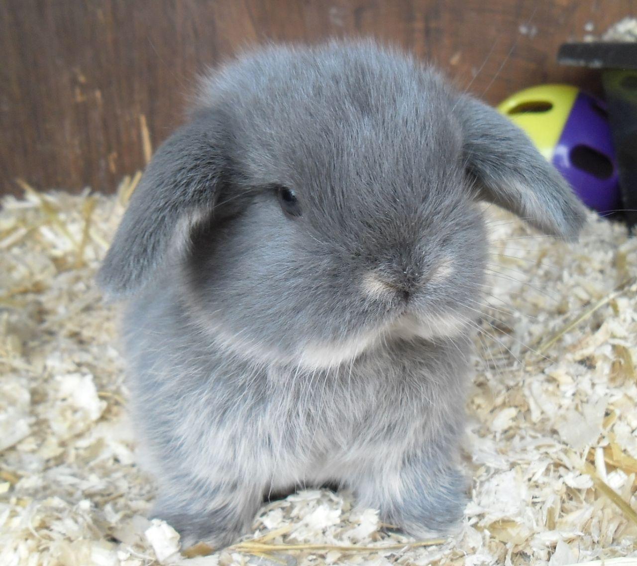Very Friendly Mini Lop Rabbit For Sale Bury St Edmunds Suffolk Pets4homes Mini Lop Rabbit Mini Lop Rabbits For Sale