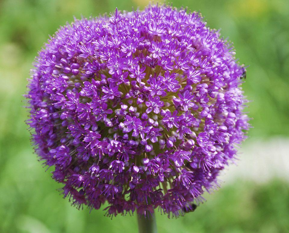 Bulb Flowers Giant Flowering Onion Allium Giganteum
