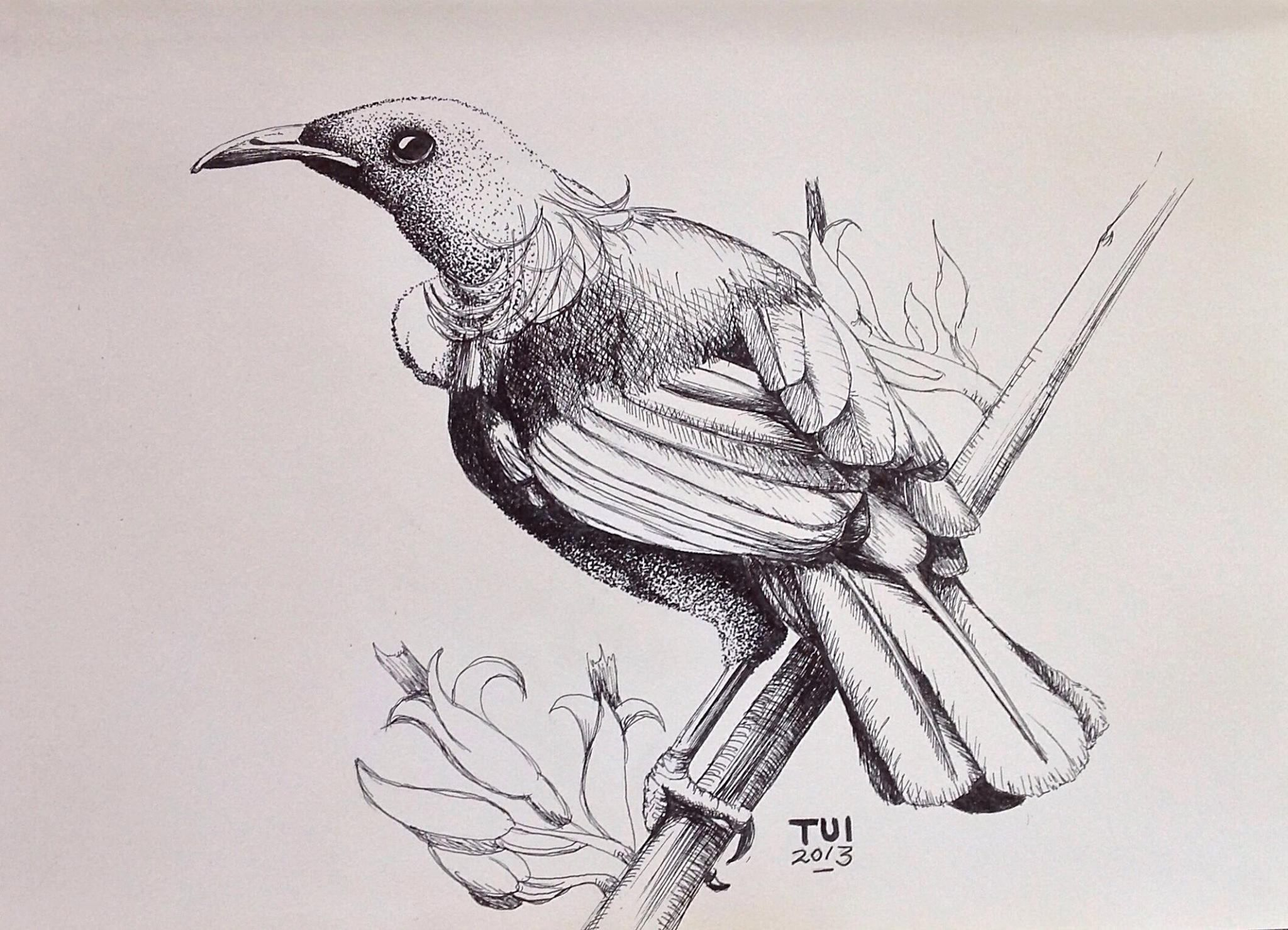 Line Drawing Of New Zealand : Tui new zealand inspired pen drawing by amandahookdesign