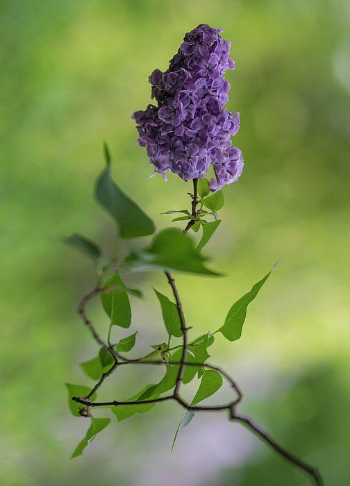 Dark Violet Lilac By Jaroslaw Blaminsky In 2020 Jaroslaw Flower Art Lilac