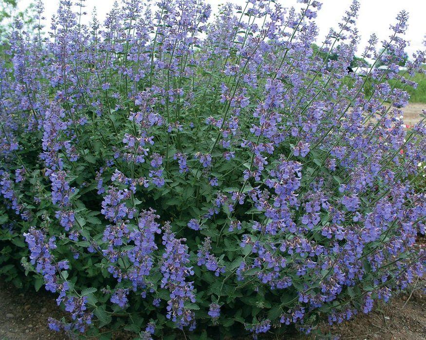 Nepeta Six Hills Giant (Catmint) Catnip plant, Herbal