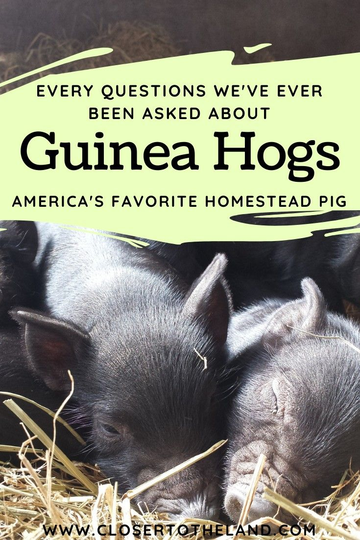 Pin on American Guinea Hogs