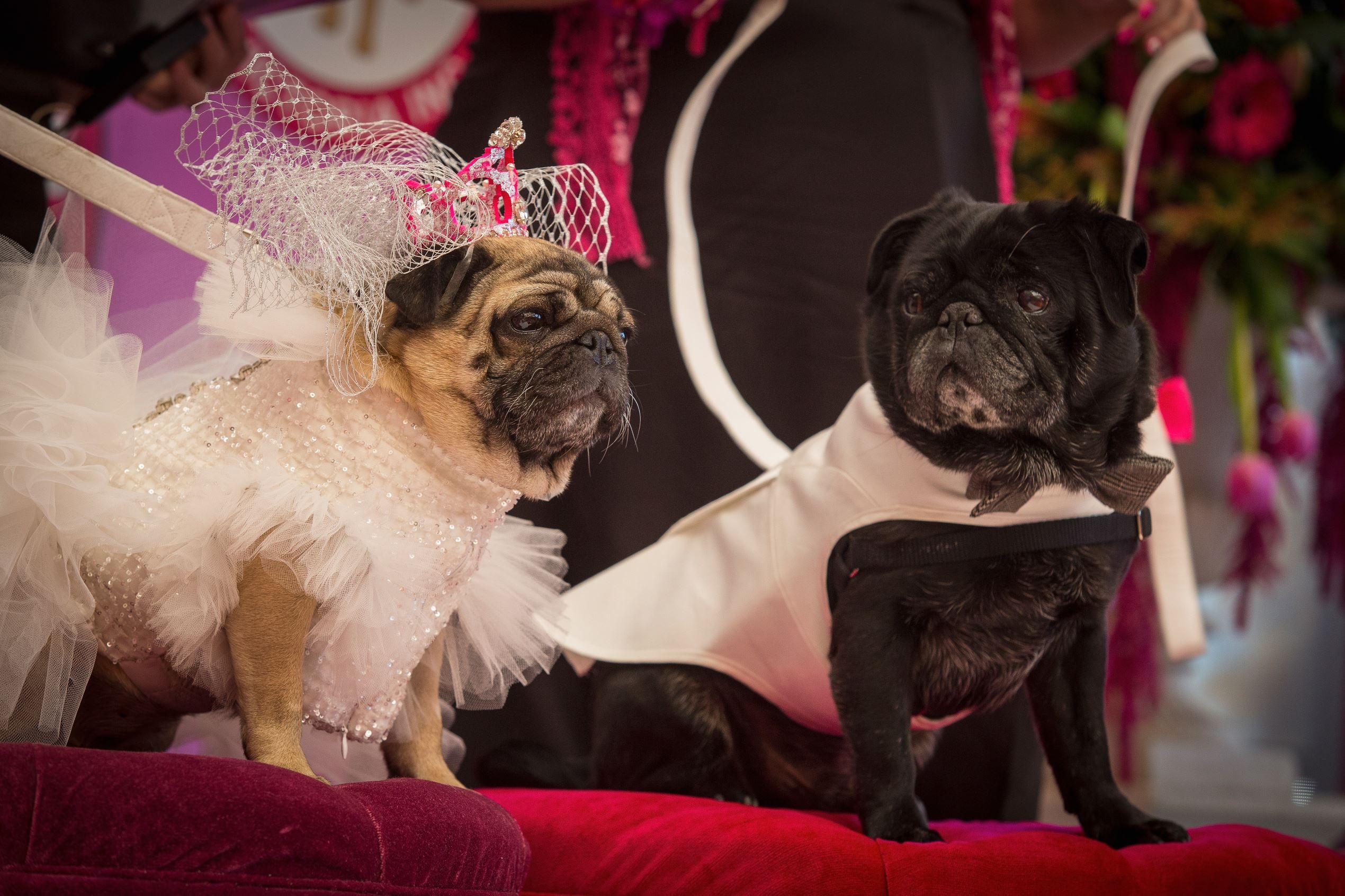 Pugs Walk Down The Aisle Pugs Walking Down The Aisle Puppies