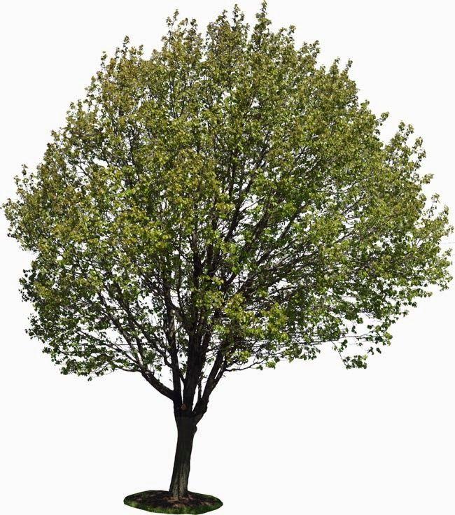 REVISTA DIGITAL APUNTES DE ARQUITECTURA Arboles y Arbustos para